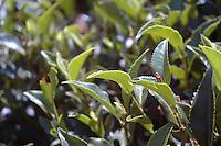 Tea field near Nuwara Eliya Sri Lanka For tea leaf collecting for tea farmers and digestion.(Photo.:Stefan Nobel-Heise)......Tea, tea, leaf,  bush,nature, Tee, Natur, Landwirtschaft  Hochland Sri Lanka Teeplantage, Tea Ground, diggest, colection,gathering, Mountains Woman, Worker, Field,Sommer, Travel, reisen, Buisne tea affair, indian ocean, ..Subtropen, ......Sri Lanka plant 2010 25 mrd US Dollar für Neugründungen von Kleinstbauern im Tee Geschäft bereit zustellen. Geplant sind bis zu 3500 Hektar Agrarland an Teebauern zu übergeben. Die ihre Erträge dann an bestehende  Teeverarbeitungsbetriebe liefern. Teepflückerinnen auf einer Teeplantage im Hochland von Nuwara Eliya.