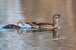 Wood duck hen and duckling swimming in a northern Wisconsin lake.