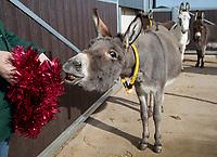 Donkey Sanctuary prepares its animals for modern life.