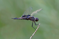 388520013 a wild male black saddlebags tramea lacerata perches on a dead stick near black rock springs in inyo county california