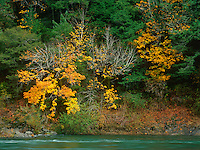 769550448 big leaf maple acer macrophyllum decked out in brilliant yellow on an autumn day in a forest along the chetco river near brookings oregon