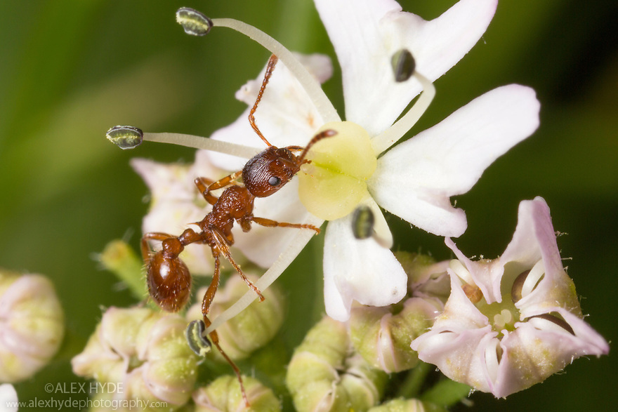 Red Ant (Myrmica rubra) feeding on umbellifer flower. Peak District National Park, Derbyshire, UK. June.