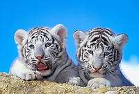 white tiger, a pigmentation variant of the Bengal tiger, Panthera tigris tigris, endangered species, cubs, India, Asia