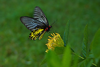 Butterfly pollinating a flower near Aek Phnom Angkorian Temple,  Battambang Cambodia,