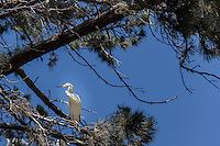 A Snowy egret stands on branches in a tree, a touch of urban wildlife in Alameda, California