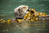USA, Alaska, Homer, China Poot Bay, Kachemak Bay, a sea otter spotted on the boat ride to Kachemak Bay Wilderness Lodge
