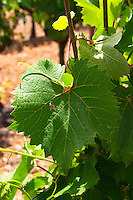 Domaine de l'Hortus. Pic St Loup. Languedoc. Vine leaves. Mourvedre vines facing south. France. Europe.