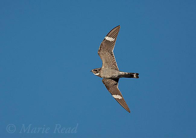 Common Nighthawk (Chordeiles minor) in flight, Mono Lake Basin, California, USA.