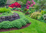 Vashon-Maury Island, WA: Spring perennial garden featuring a sweep of Walker's Low Catmint (Nepeta racemos) and rlhododendron in bloom