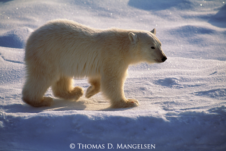 Portrait of polar bear cub walking across the snow in Canada.