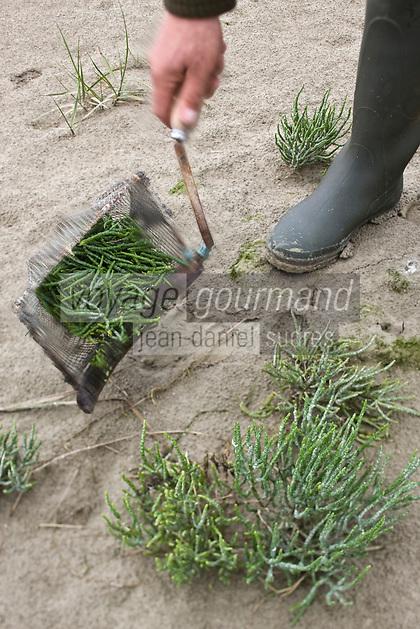 Europe/France/Picardie/80/Somme/Baie de Somme/Le Crotoy: Bramassage dans les prés -salés de la Baie de Somme de la Salicorne par  Mr Devismes