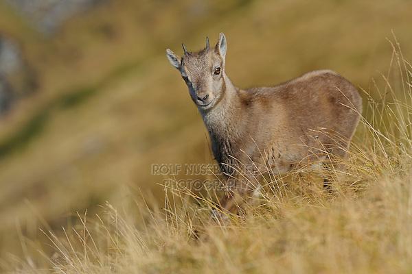 Alpine Ibex (Capra ibex), young, Niederhorn, Interlaken, Switzerland, Europe