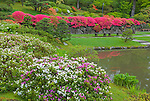 Seattle, WA: Evergreen azaleas ladened with blossoms along the lake's edge in spring in the Washington Park Arboretum's Japanese Garden