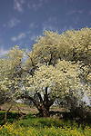 Cherry tree in the Golan Heights