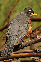576800003 a wild american robin turdus mirgratorius perches on a low lying branch in a forest in central washington united states
