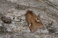 Wasserschwaden-Röhrichteule, Phragmatiphila nexa, Nonagria nexa, La Noctuelle à Baïonnette. Eulenfalter, Noctuidae, noctuid moths, noctuid moth
