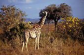 Mikumi Game Reserve, Tanzania. Pregnant giraffe looking at the camera with trees behind.