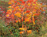 Sumac in fall color; Adirondack Park & Reserve, NY