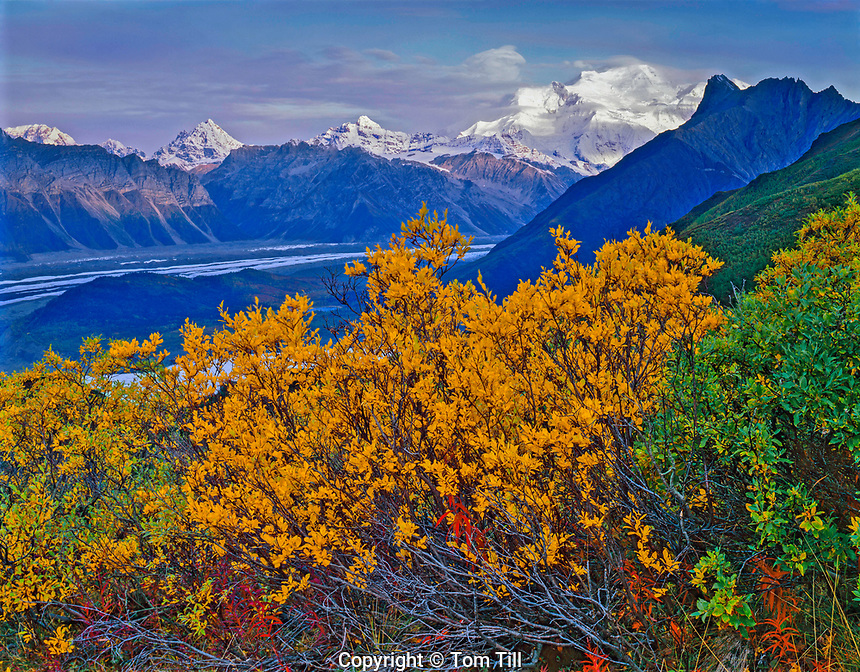 Autumn Cottonwoods and Peaks of the Wrangell Mountains, Wrangell - St. Elias National Park and Preserve, Alaska