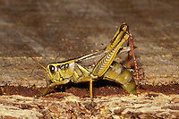 Two-striped Grasshopper; Melanoplus bivittatus ; laying eggs in tree stump; WA, Skagit County