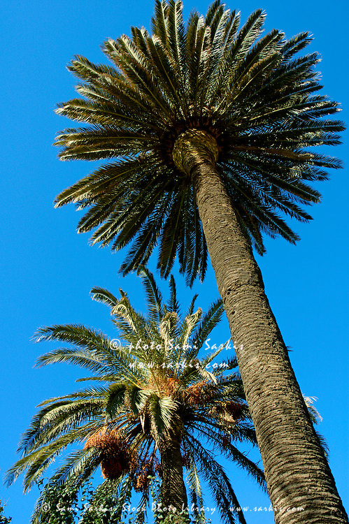 Two Date Palm trees (Phoenix dactylifera) in springtime, Provence, France.