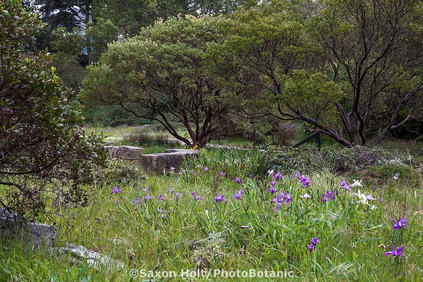 Spring California native plant meadow in Menzies Garden of California native plants; San Francisco Botanical Garden