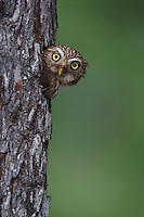 Ferruginous Pygmy-Owl, Glaucidium brasilianum, adult looking out of nesting cavity, Willacy County, Rio Grande Valley, Texas, USA