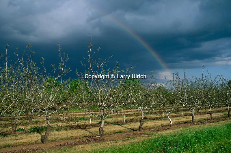 Orchard near Los Molinos<br /> Sacramento Valley<br /> Tehama County<br /> California