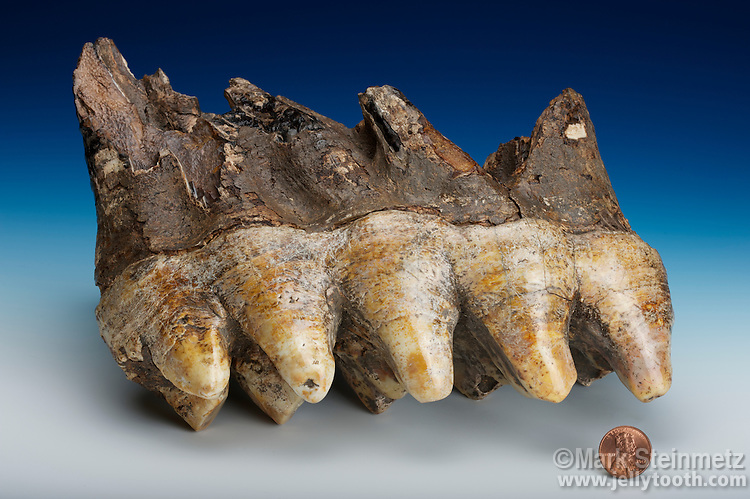 Tooth from an American Mastodon (Mammut americium) discovered in 2002 in Rossburg, Ohio, USA. American Mastodons roamed North America until their extinction approximately 11,000 to 10,000 years ago.