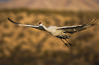 Sandhill Crane (Grus canadensis), adult in flight, Bosque del Apache National Wildlife Refuge , New Mexico, USA,