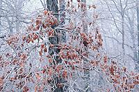 Ice covered oak tree, Kentucky