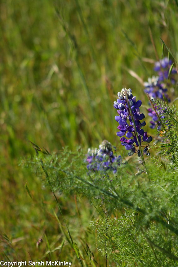 Lupine growing near the fronds of either fennel or poison hemlock in Asti in Sonoma County in Northern California.