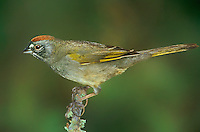 582210002 a wild green-tailed towhee pipilo chlorurus perches on a lichen covered branch in the rio grande valley of south texas in the united states