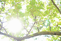 Sunlight through leaves in summer