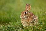 New England Cottontail (Sylvilagus transitionalis), Gloucester, Cape Ann, eastern Massachusetts