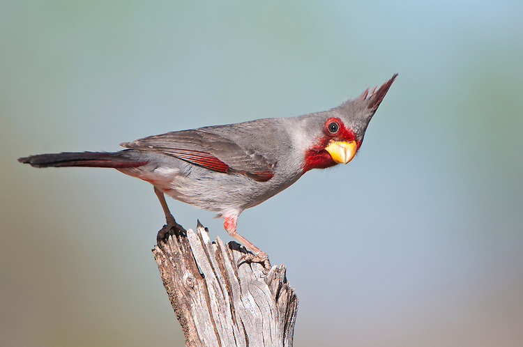 Pyrrhuloxia waiting to feed sitting on a branch.