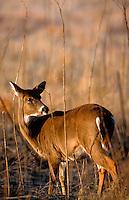 A White-taled deer - doe.