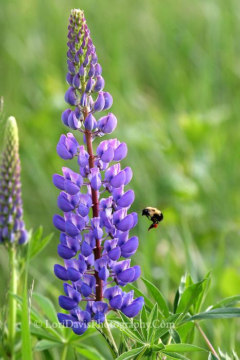 Lupine & Bumble Bee  #F11