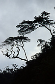 Amazon Basin, Brazil. Cloud forest trees in silhouette on a slope.