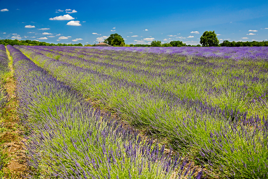 Rows of lavender soak up the summer sun in the Aquitaine region, in the south-west of France.