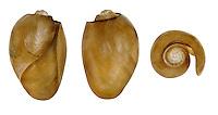 Akera bullata shells