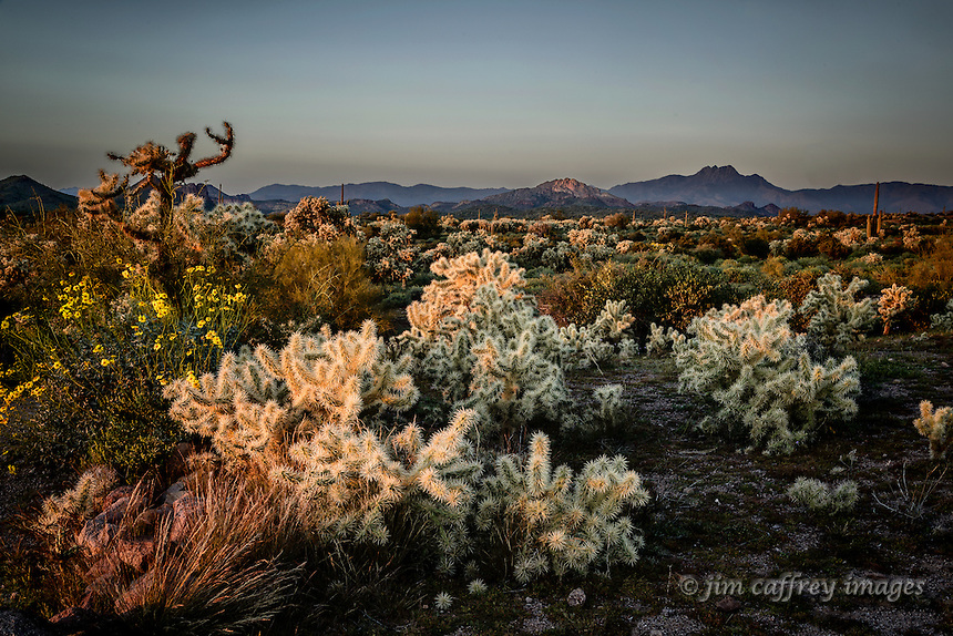 Teddy Bear Chollas and Brittlebrush at sunset in the Lost Dutchman State Park in the Superstition Mountains near Phoenix, Arizona