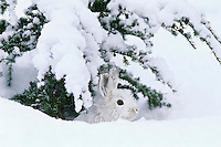 Snowshoe hare hiding beneath snow covered tree in northern forest.  Winter.