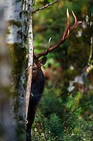 Roosevelt Elk Bull (Cervus canadensis roosevelti)