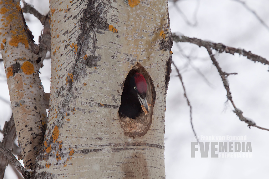 Black Woodpecker throwing out woodshavings from nest building.