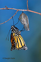MO04-501z   Monarch emerging from chrysalis - Danaus plexipuss