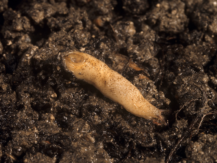 Shelled Slug - Testacella scutulum