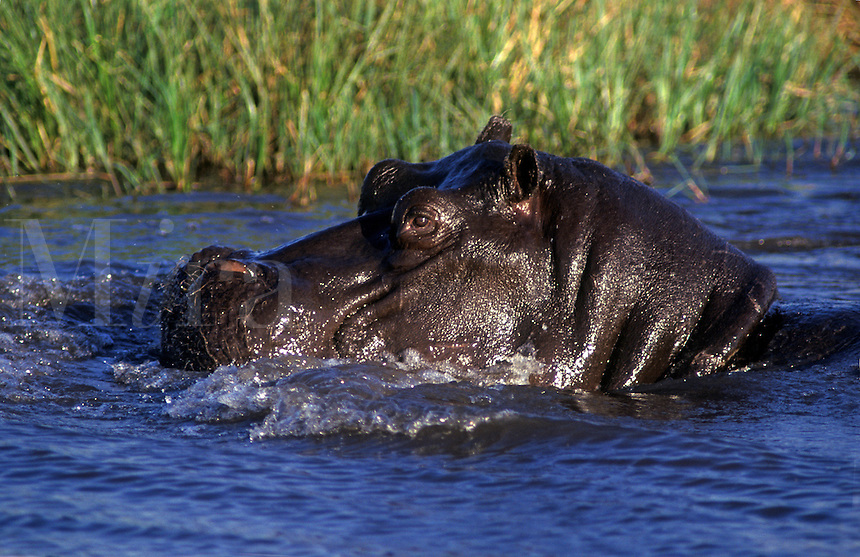 HIPPOS (Hippopatamus Amphibius) are very territorial & spend most of the day in the water - MOREMI GAME RESERVE
