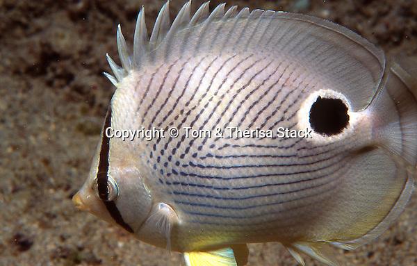 Foureye Butterflyfish, Chaetodon capistratus