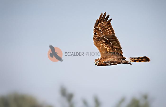 Female Northern Harrier in flight, banking toward camera